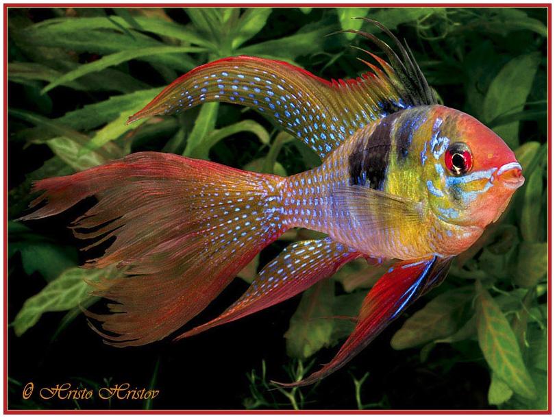 Названия аквариумных рыбок с фотографиями Харациновидные